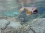水中岩魚.JPG